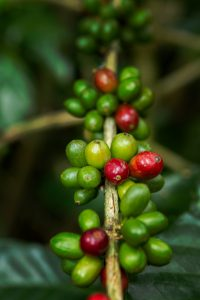 Fresh coffee beans growing.